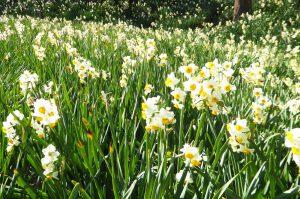 一面に咲く水仙の画像