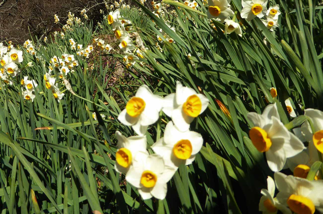 水仙の花のアップ画像