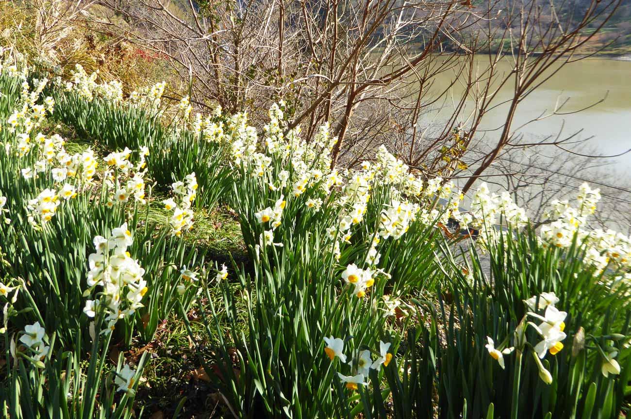 ダム斜面に咲く水仙の花の画像