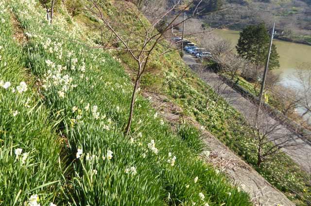 斜面に咲く水仙の花の画像