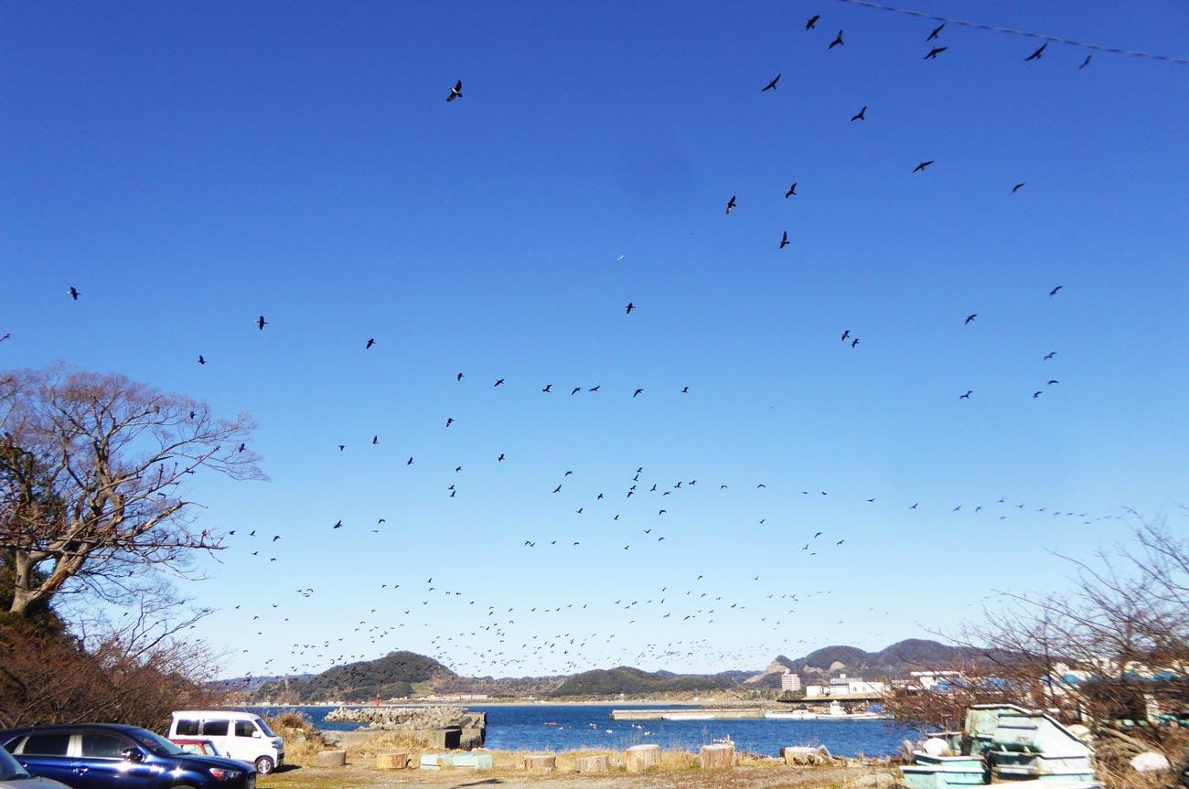 小浦漁港の海鵜の大群の画像
