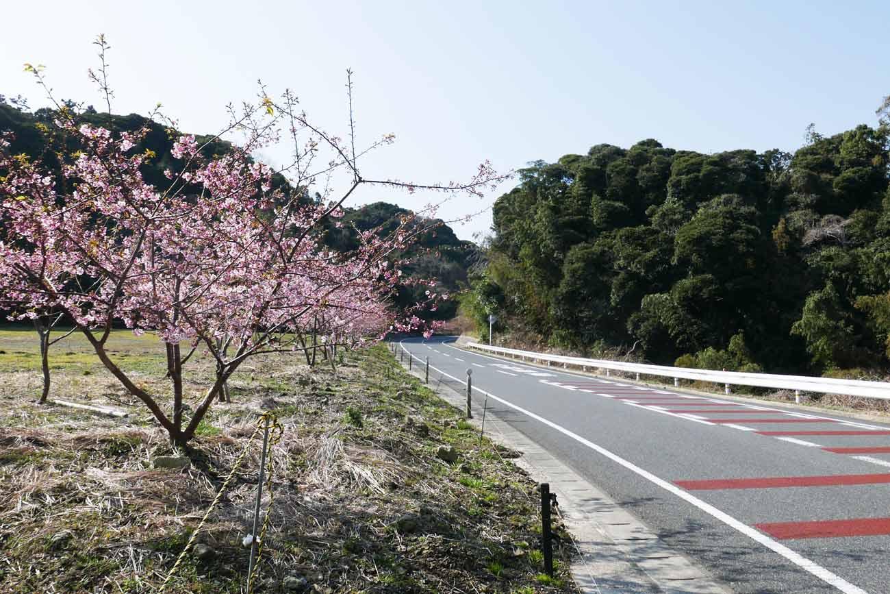 安房グリーンラインの河津桜の画像