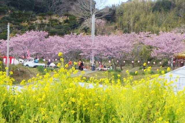 抱湖園の元朝桜と菜花の画像