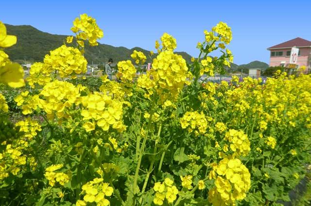 菜花の画像