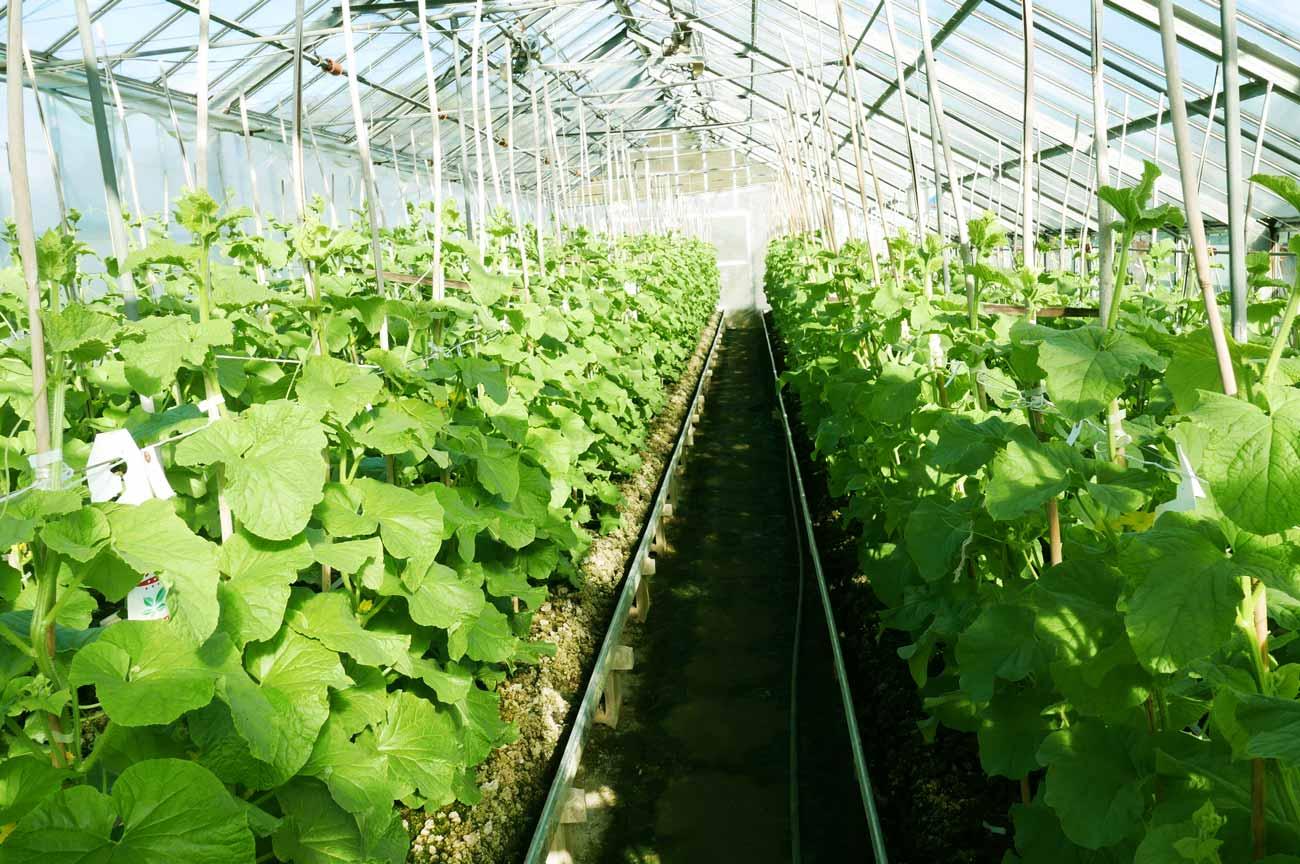 安田メロン農園のメロンの苗の画像