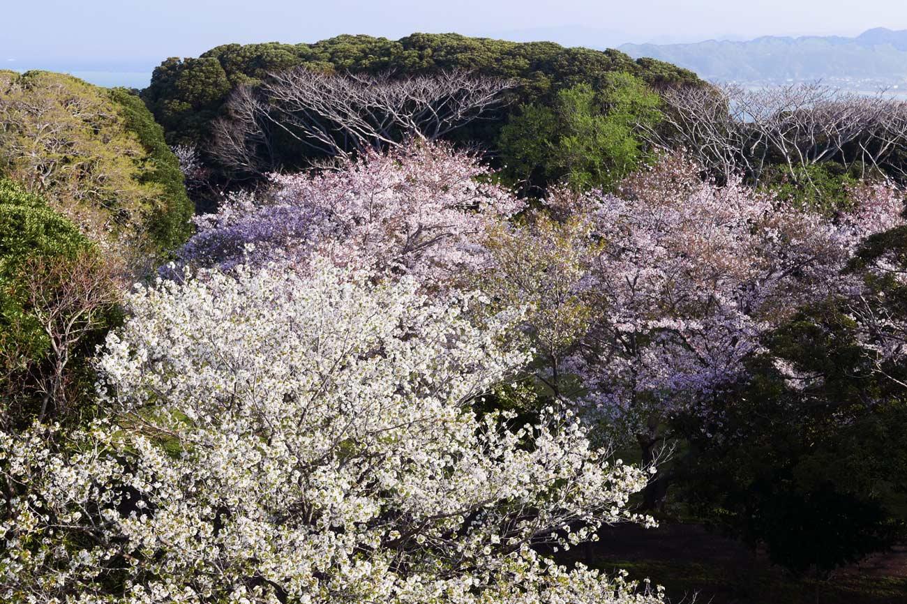 大房岬展望塔から見た桜の画像