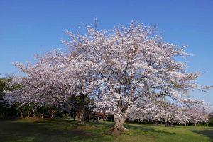 大房岬の満開の桜