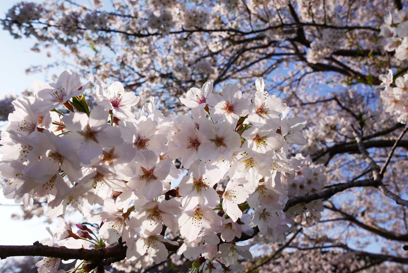 大房岬中央広場の桜