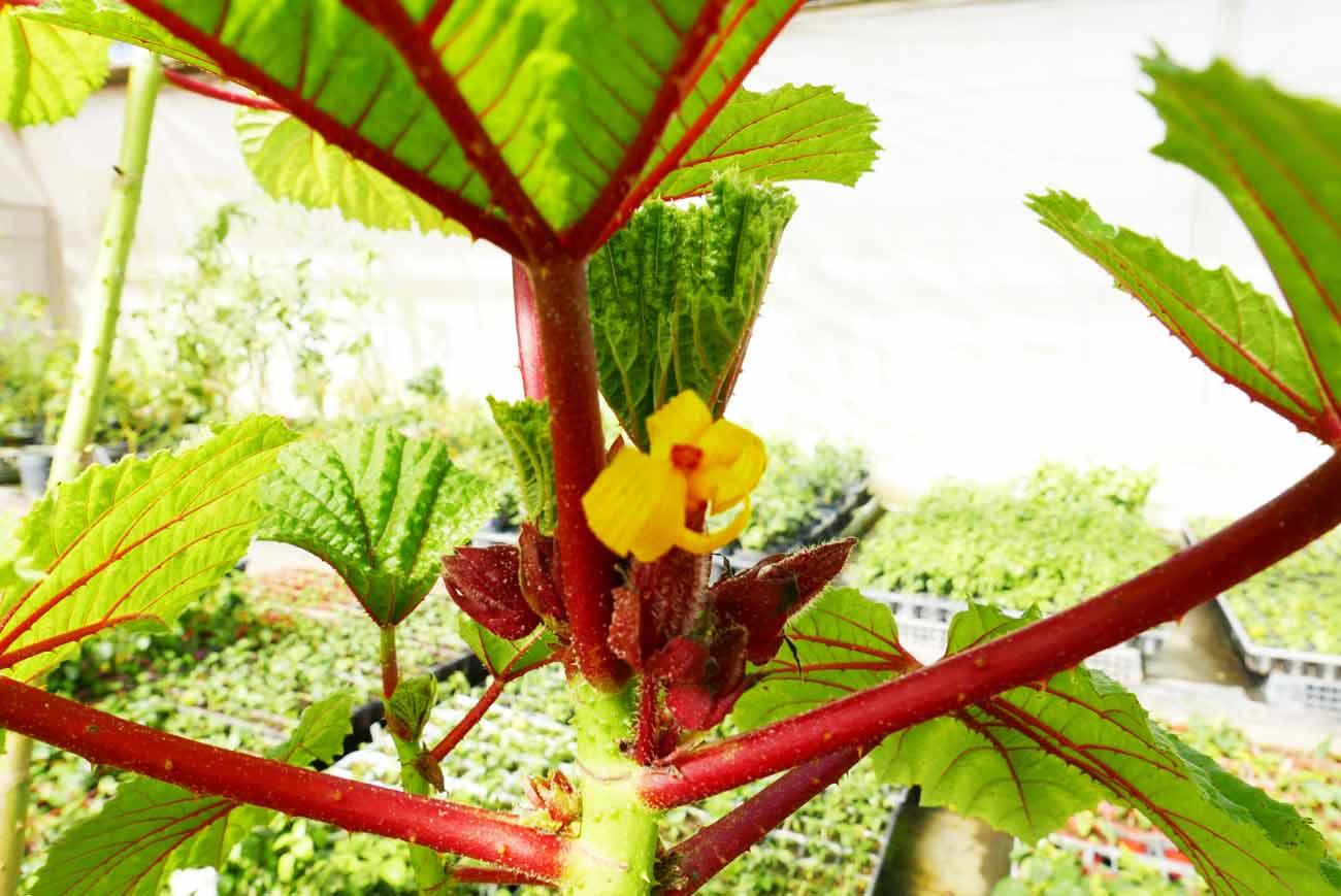 ワークレア・フェロックスの花の画像
