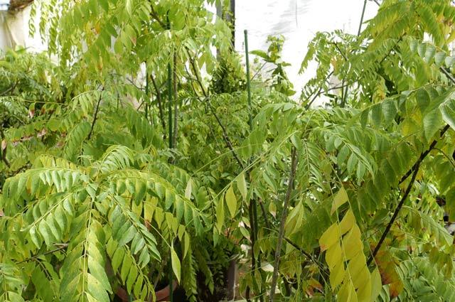 カレーの木の苗