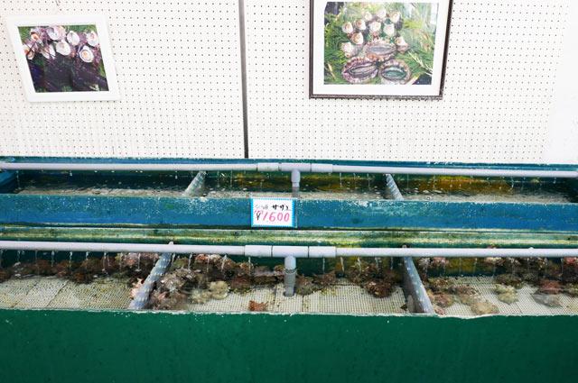 サザエの水槽の画像