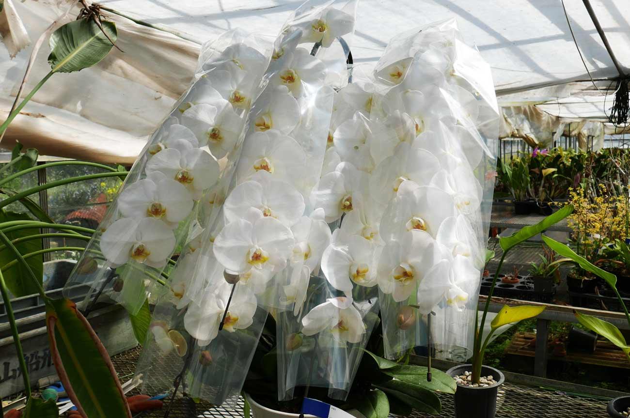 白の胡蝶蘭の画像
