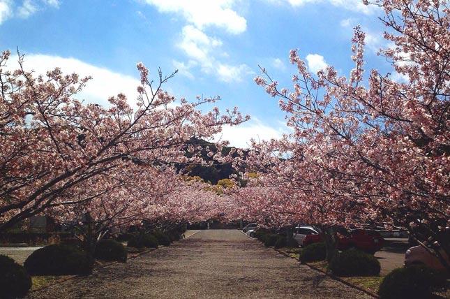 安房神社の桜の画像