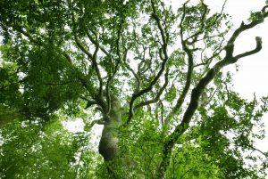 ホルトの木を下から撮影
