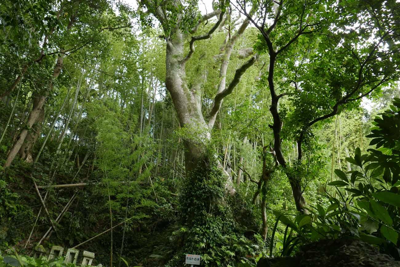 ホルトの木の根元の画像