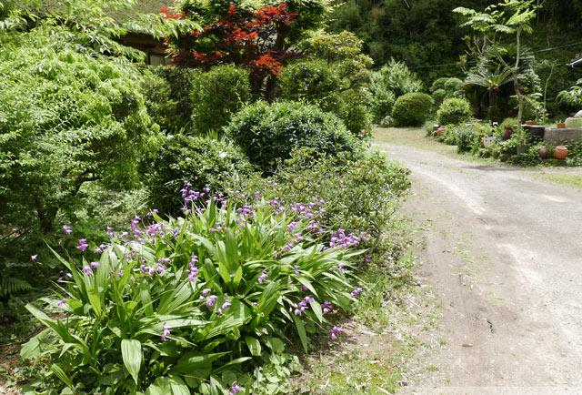 庭に咲く紫蘭の画像