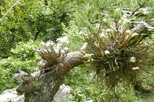 松に寄生するセッコク蘭の画像