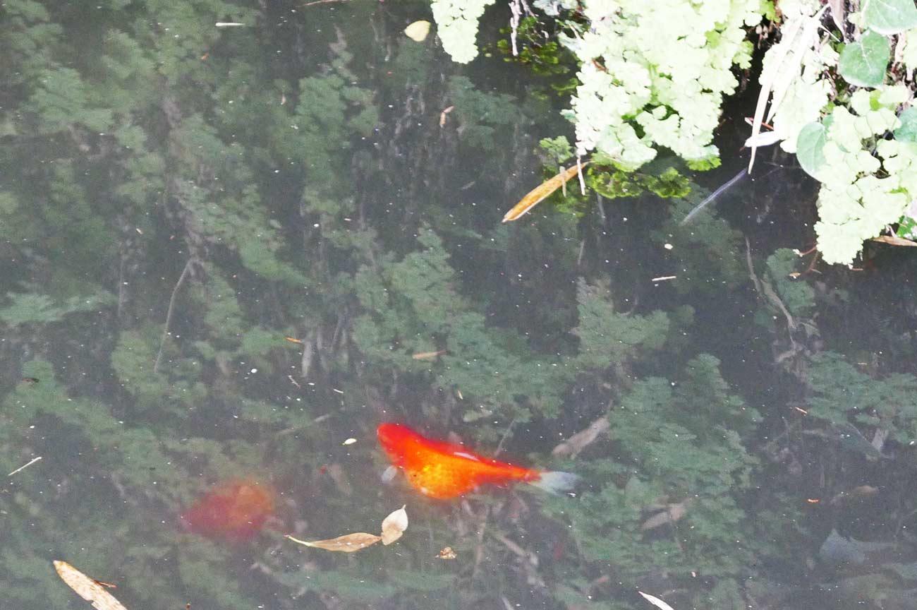 弁天池の金魚の画像