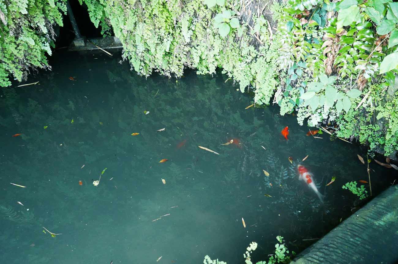 弁天池の錦鯉の画像
