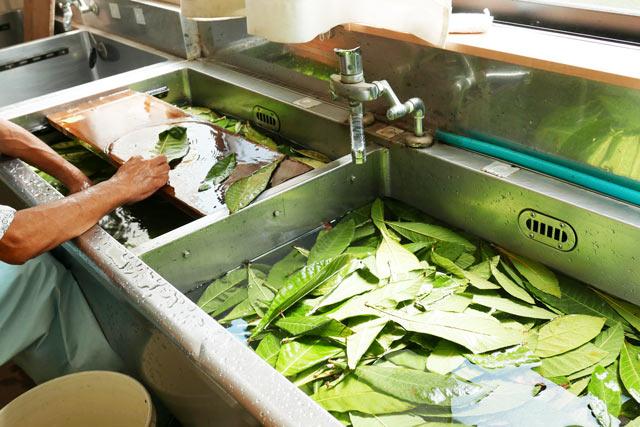 びわの葉を洗う作業