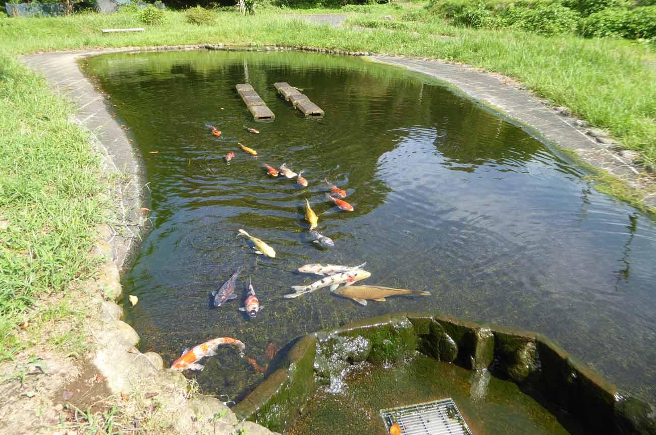 親水池の錦鯉の画像