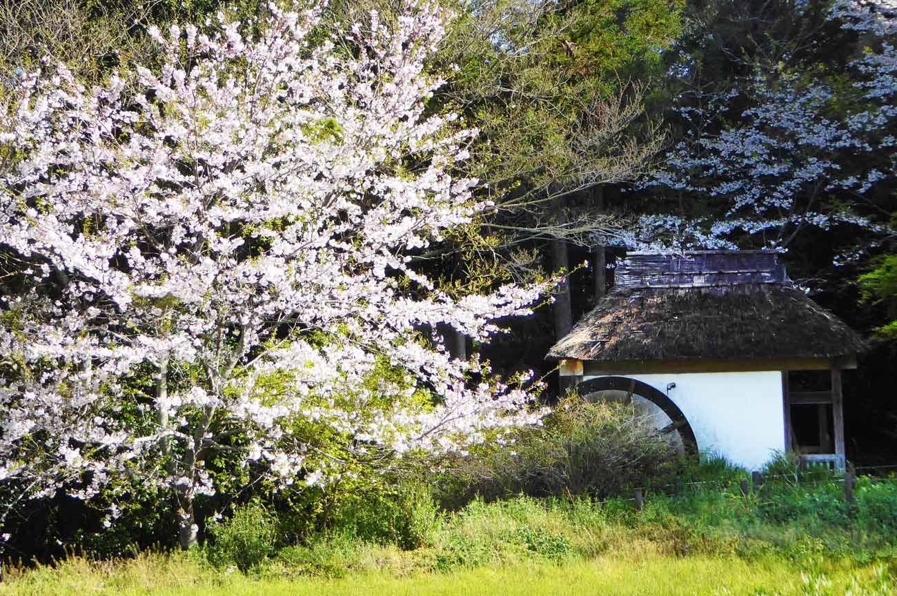吉井農村公園の水車小屋とさくらの画像