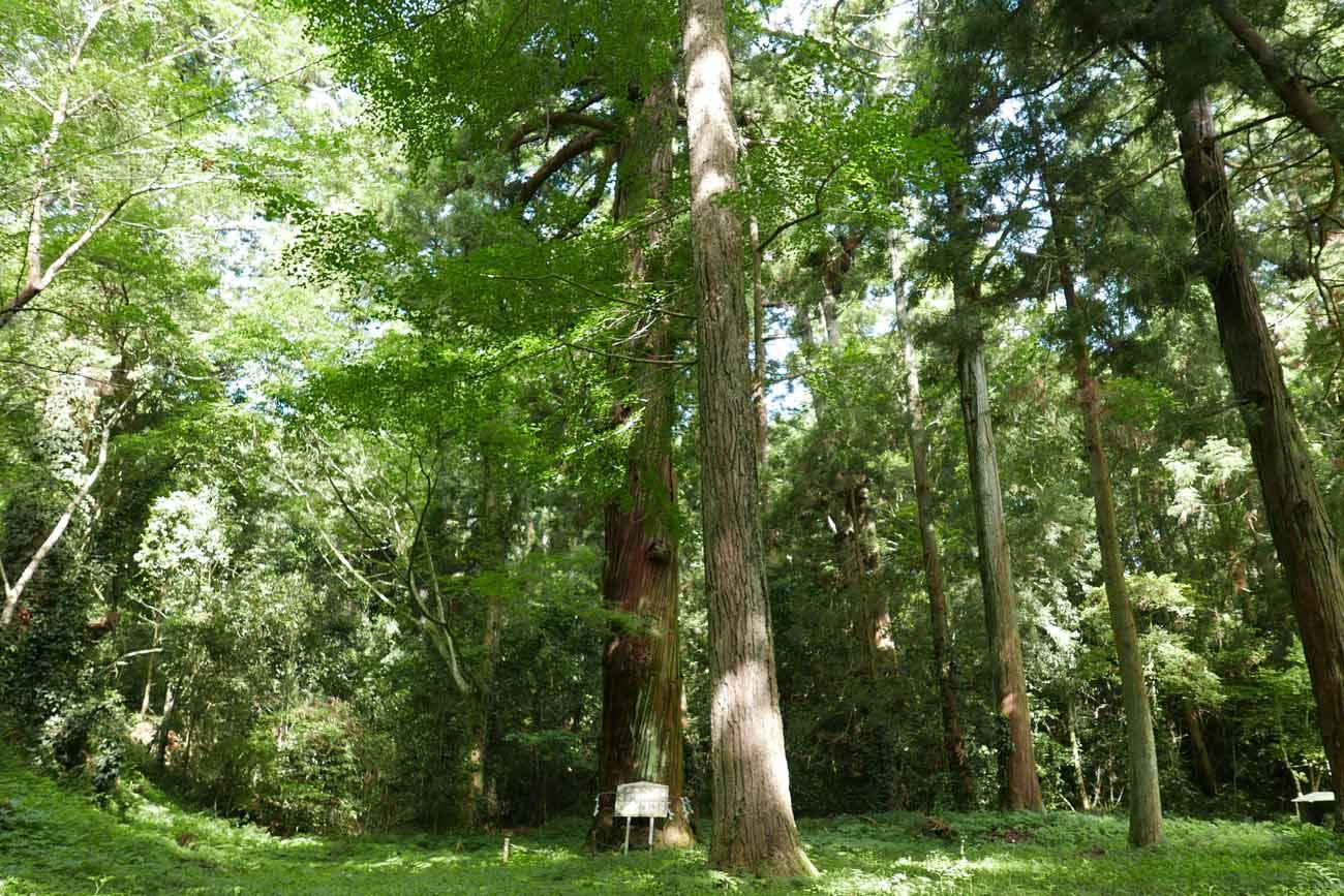 御神木の大杉の画像