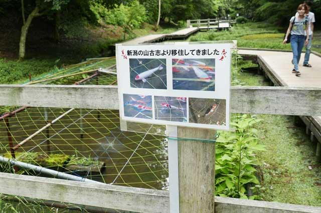 木道の錦鯉の画像