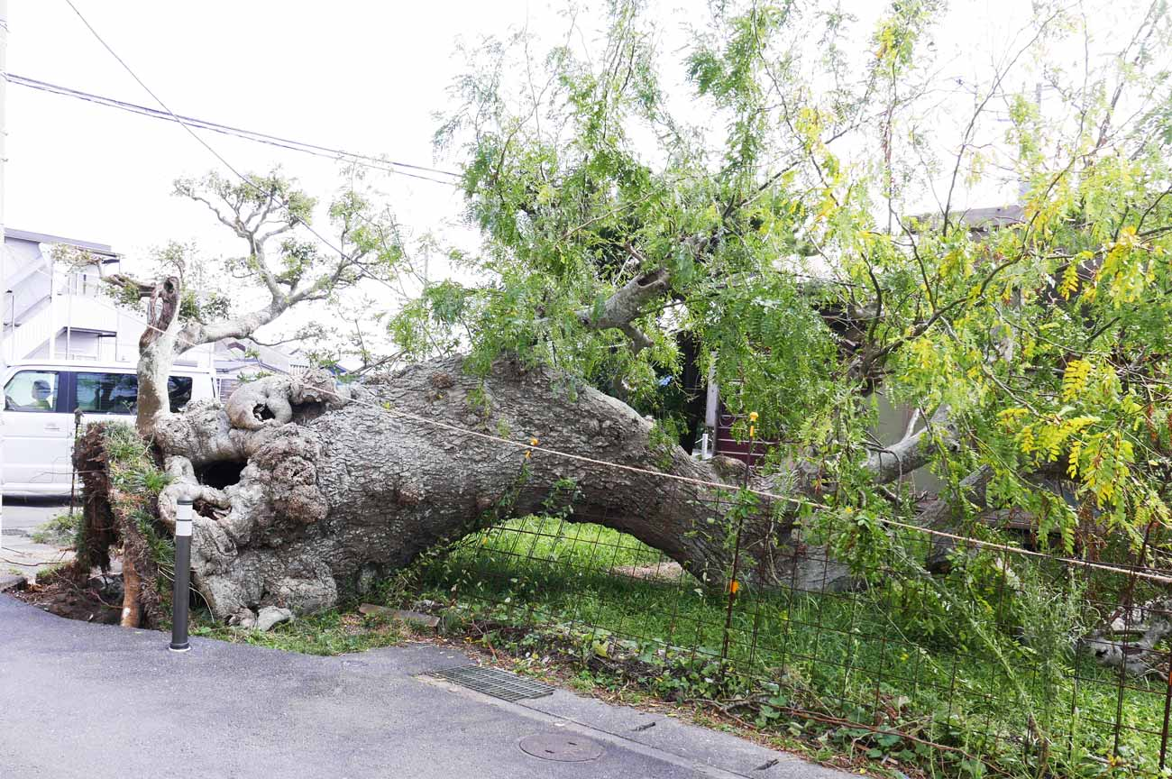 台風19により倒れたサイカチの木