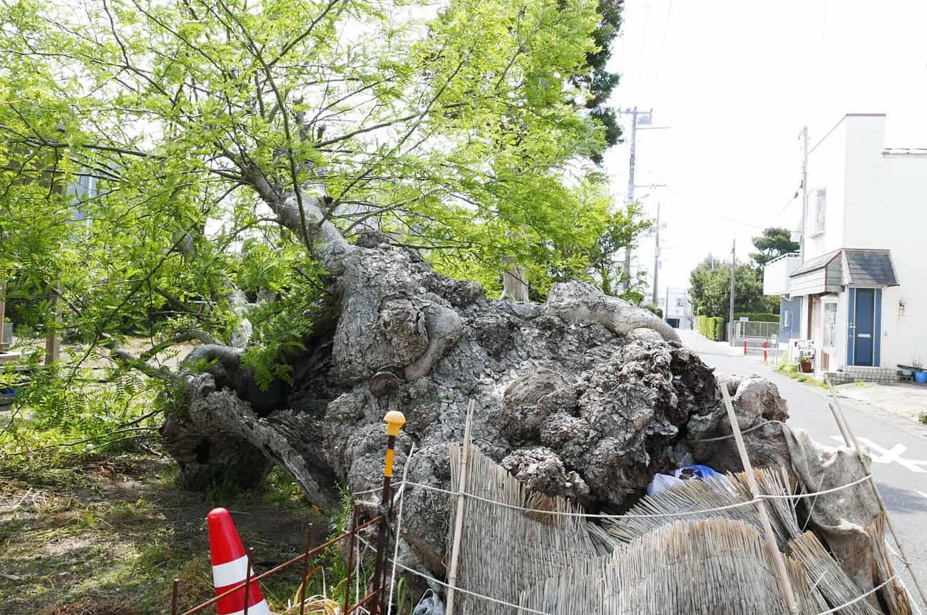 心芽が出たサイカチの木