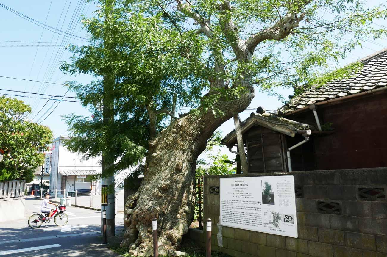 六軒町のさいかちの木の全体像