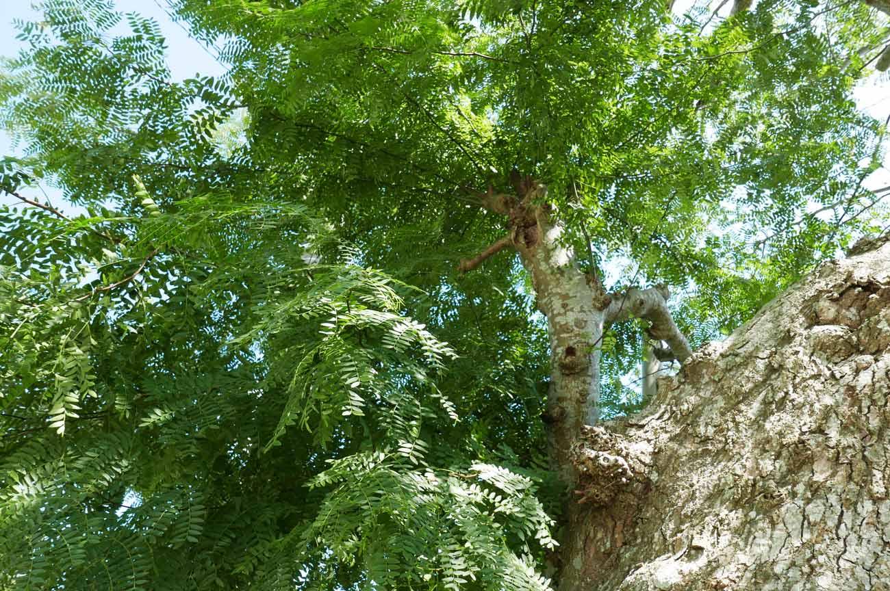 さいかちの木の葉の画像