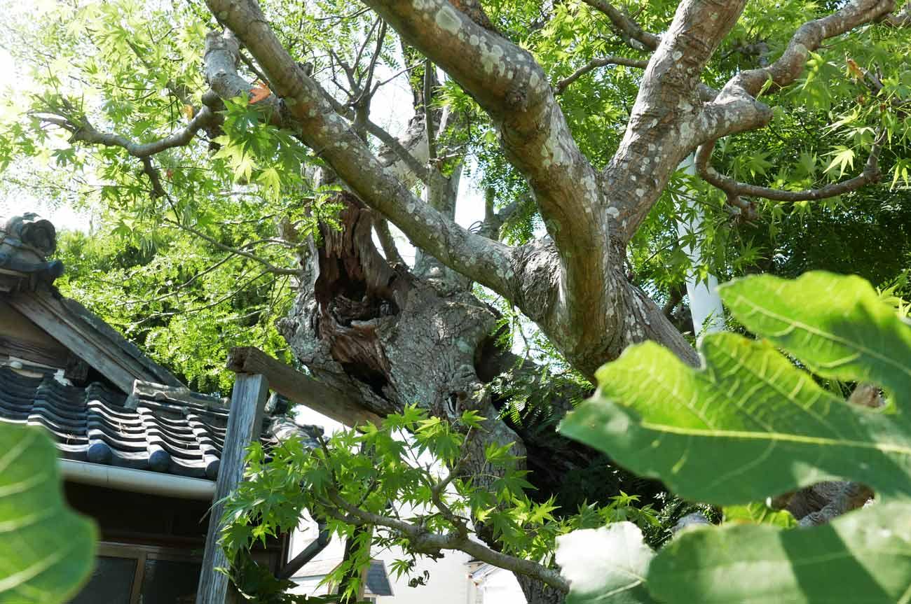 さいかちの木のアップの画像