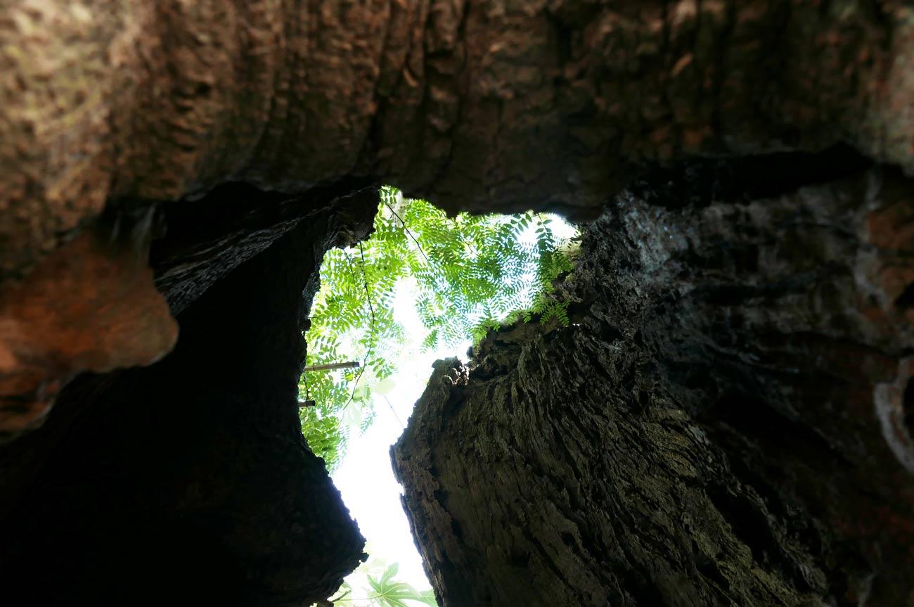 さいかちの木のウロの中の画像