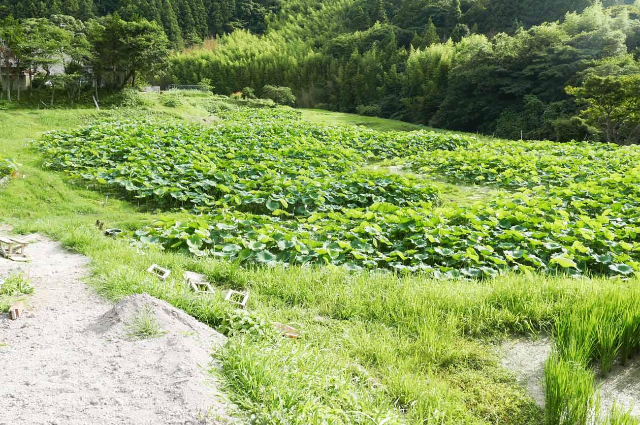 鴨川サラダれんこんの畑の画像