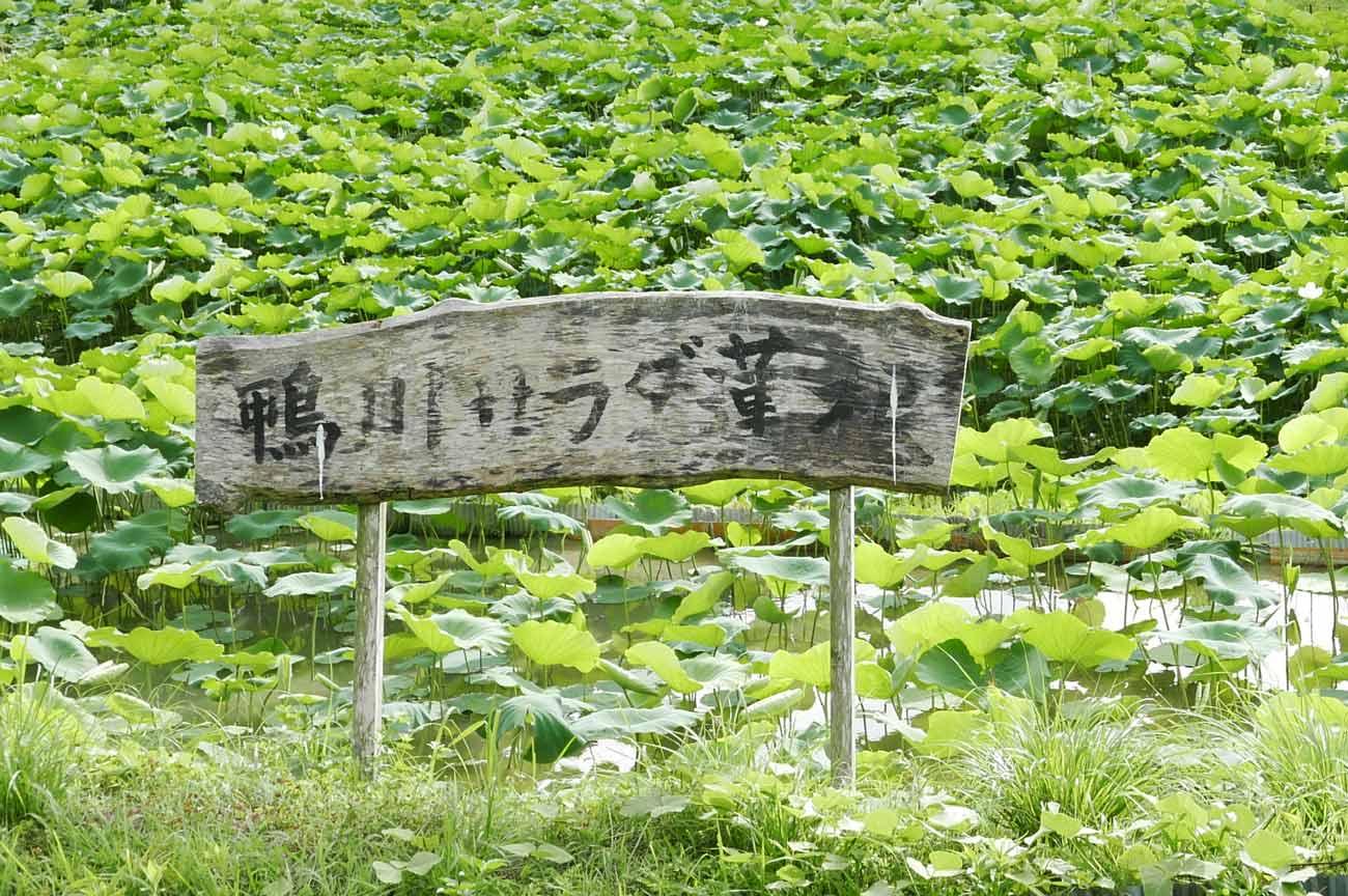 鴨川サラダれんこんの畑の画像2