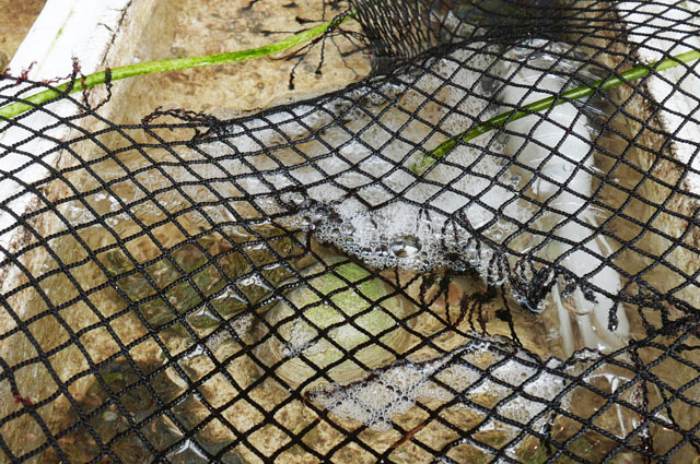 魚清の牡蠣の画像