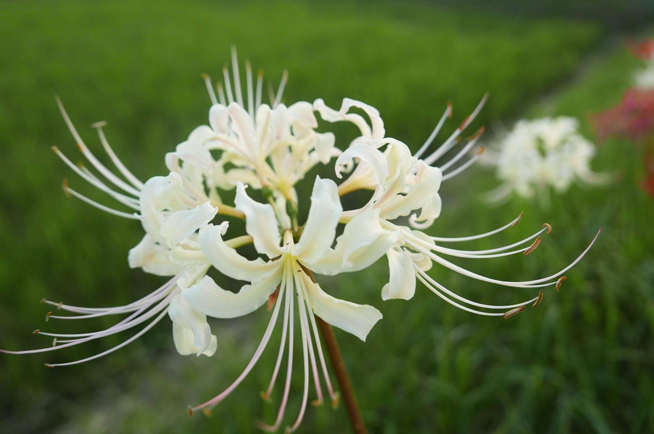 白い彼岸花の画像