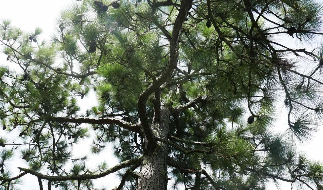 松の大木の画像