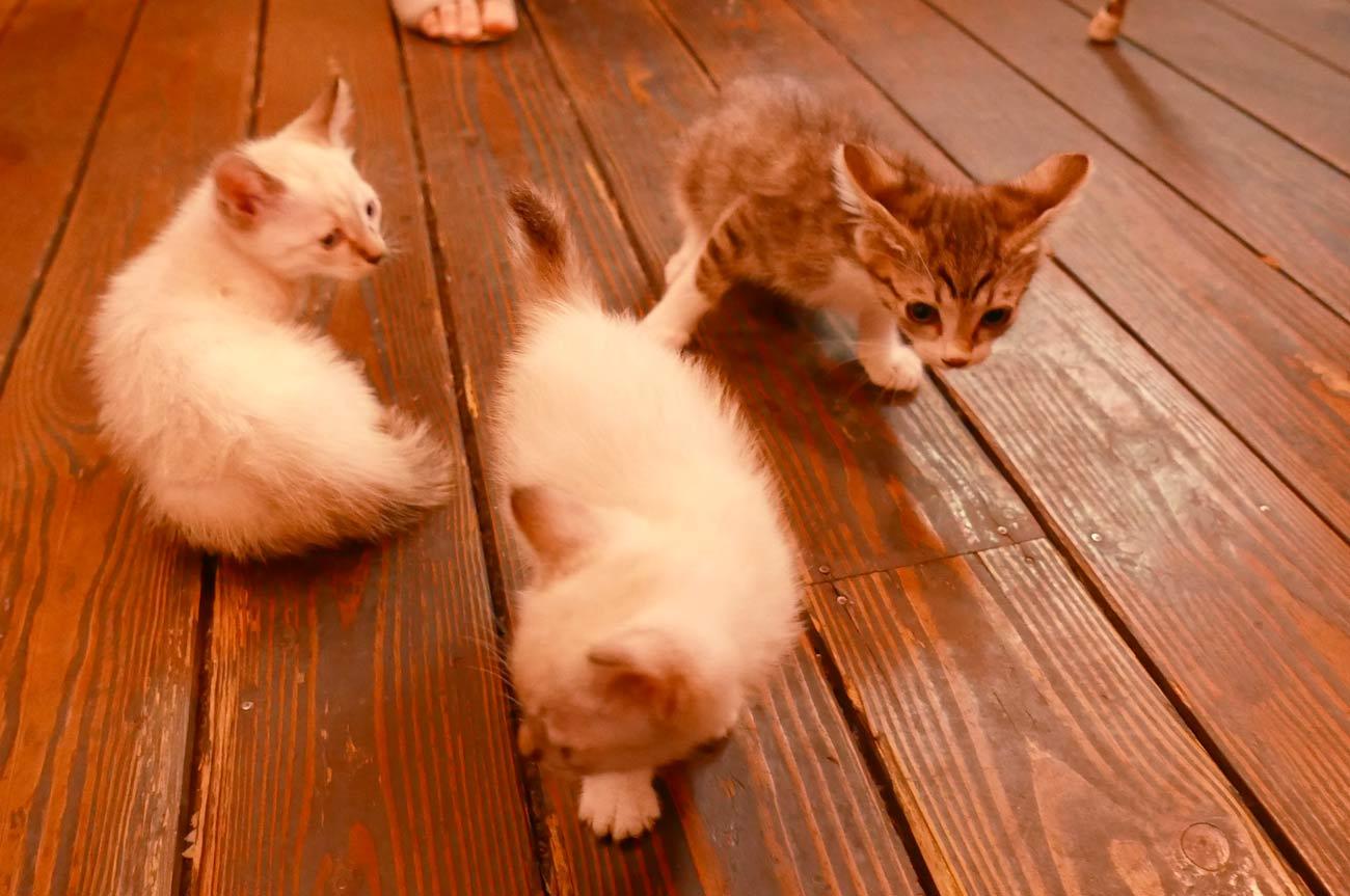 バニ・ナチュラルズの子猫の画像