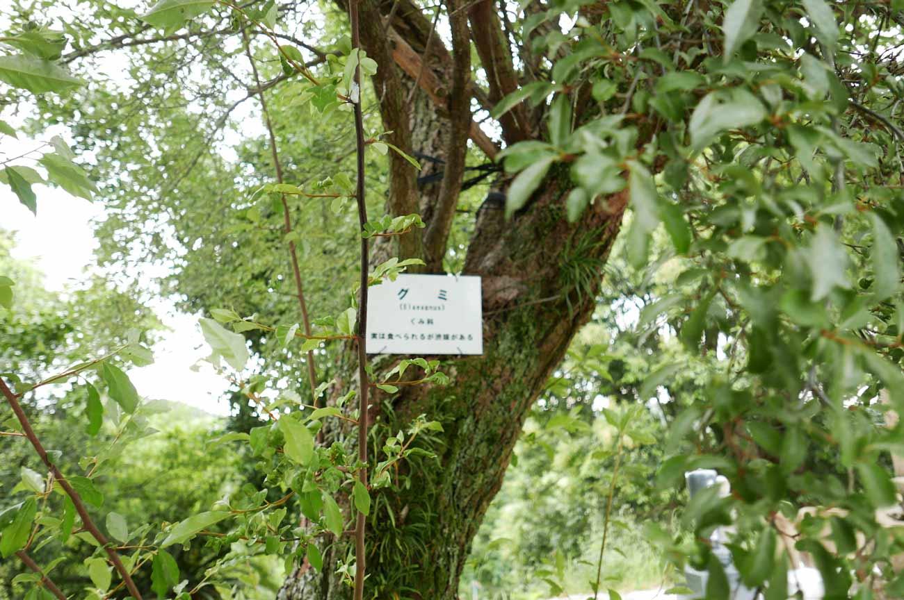 境内のグミの木の画像