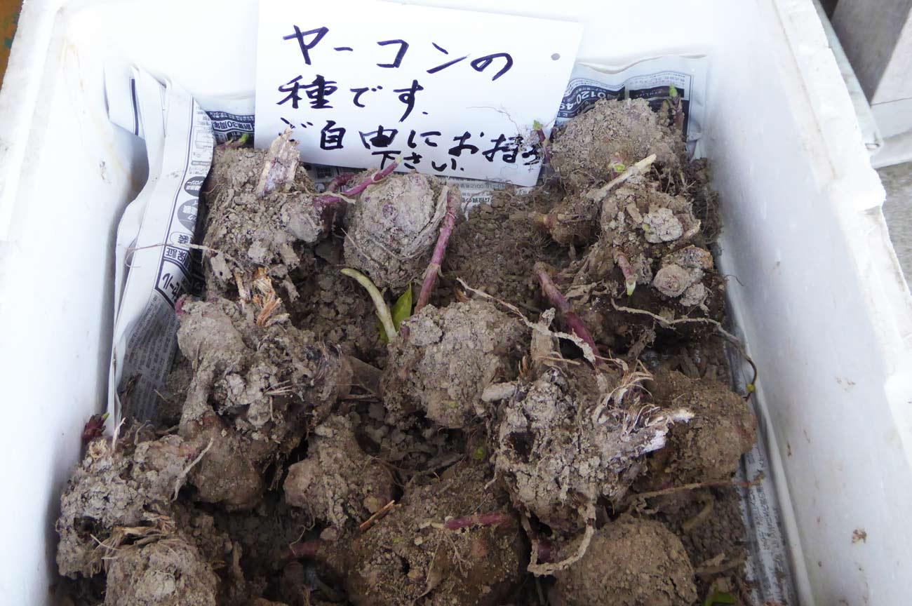 ヤーコンの種の画像