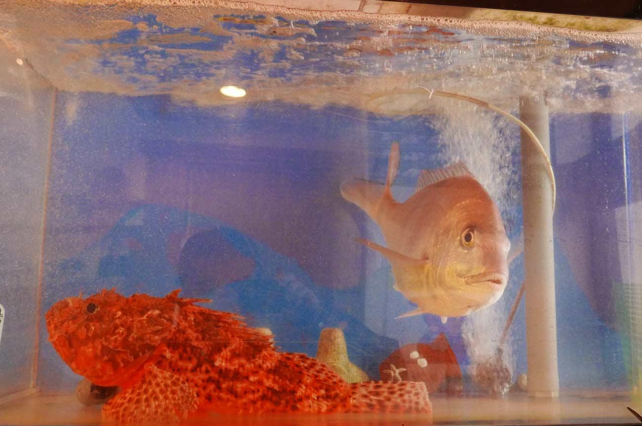 水槽の鬼カサゴと真鯛の画像