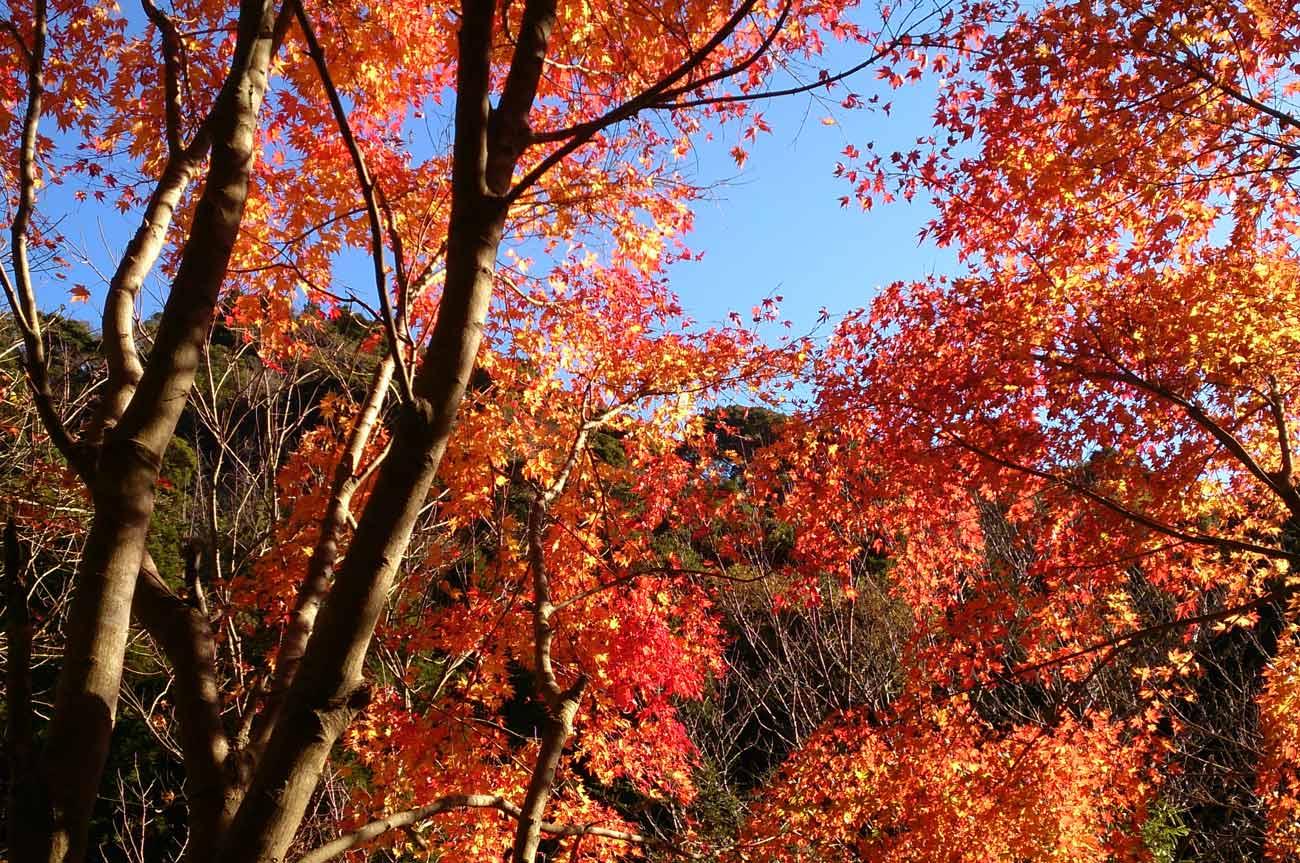 吊橋付近の紅葉の画像