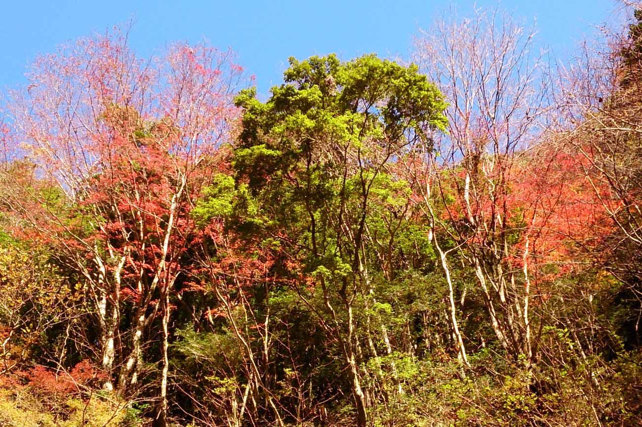 遊歩道付近の紅葉の画像