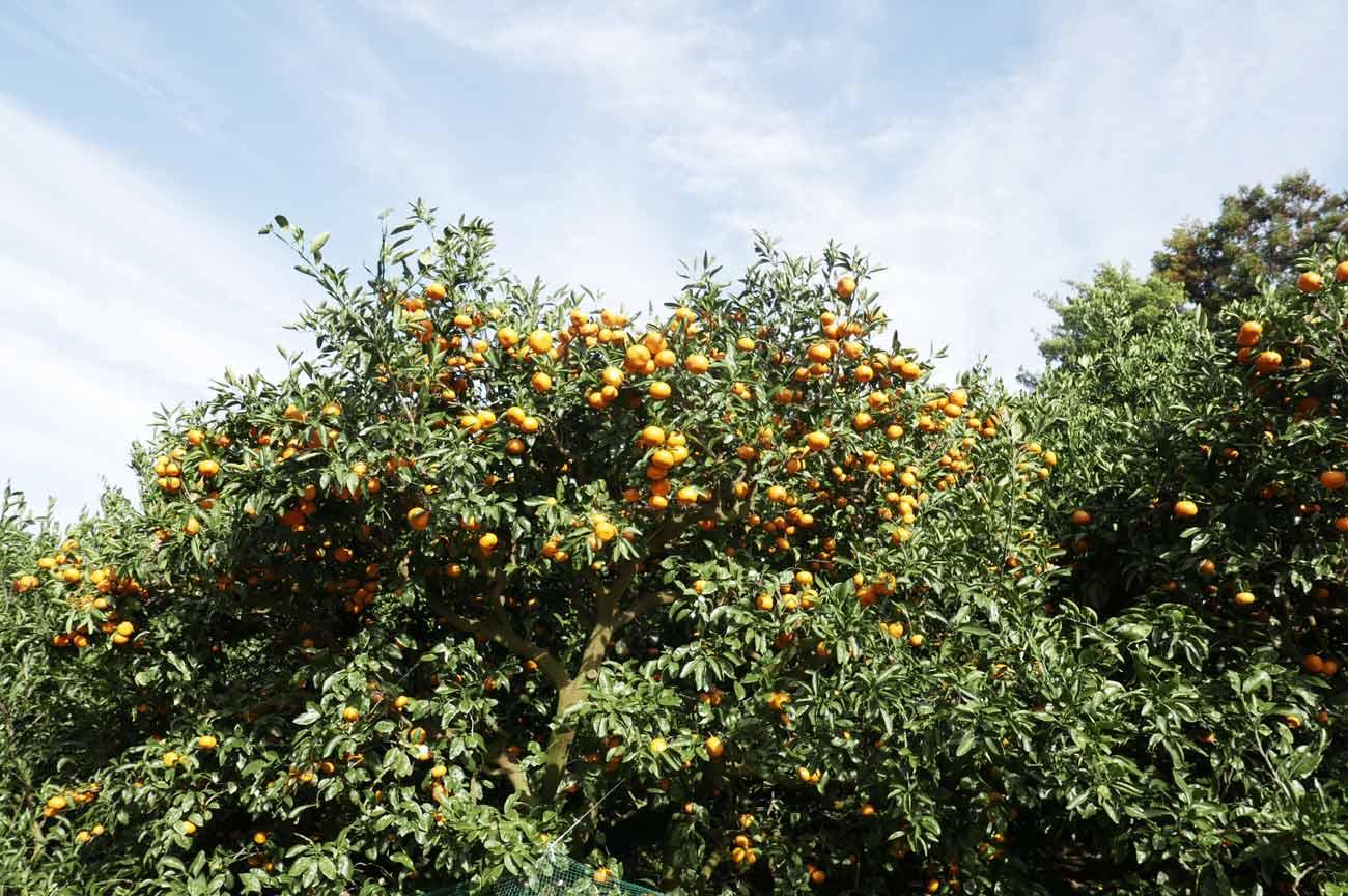 温州みかんの木の画像