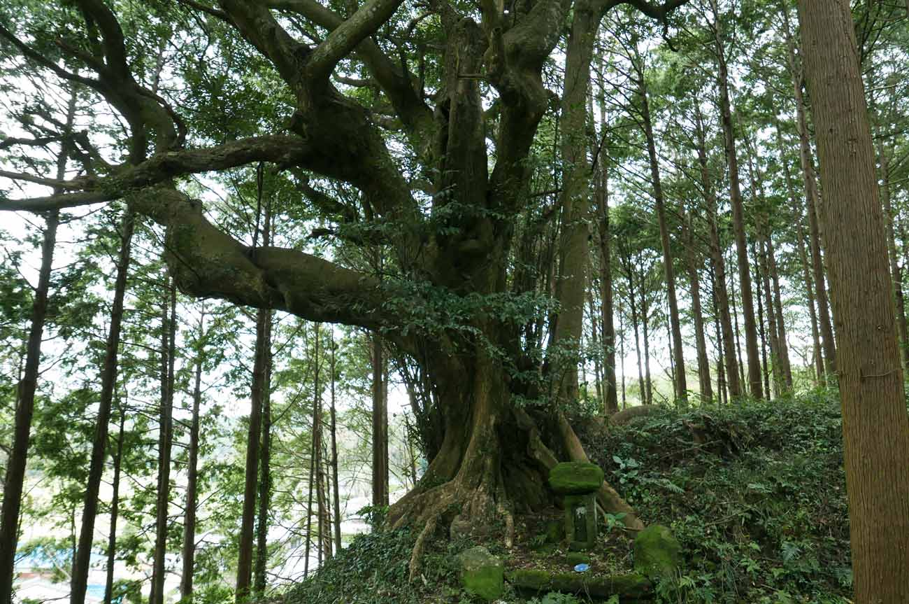 天照皇太神宮の御神木の画像