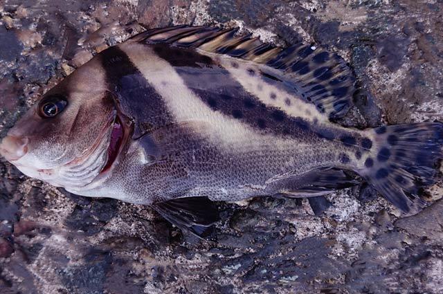小庄鯛(こしょうだい)の画像