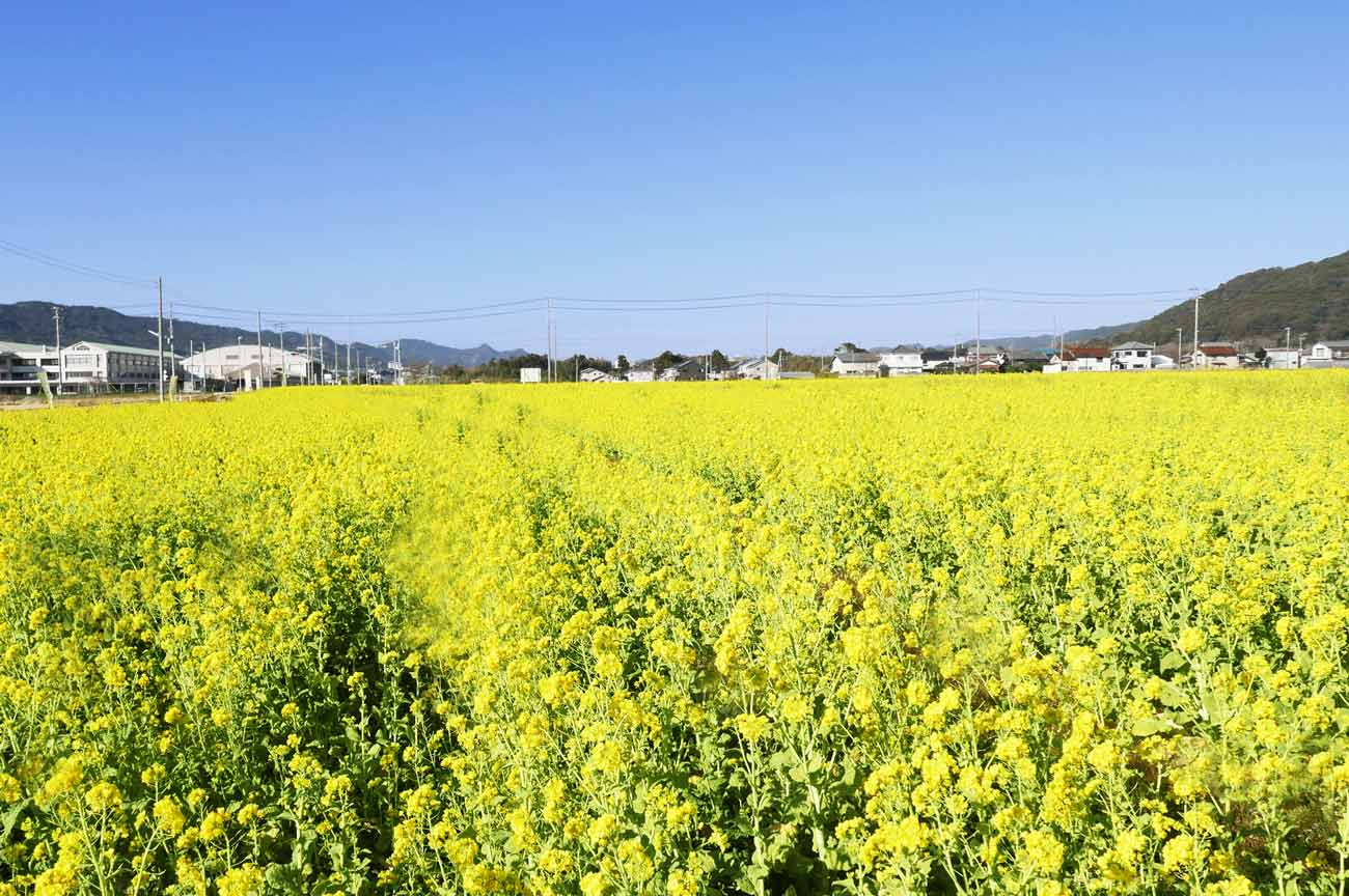 菜の花畑ロード西側の画像