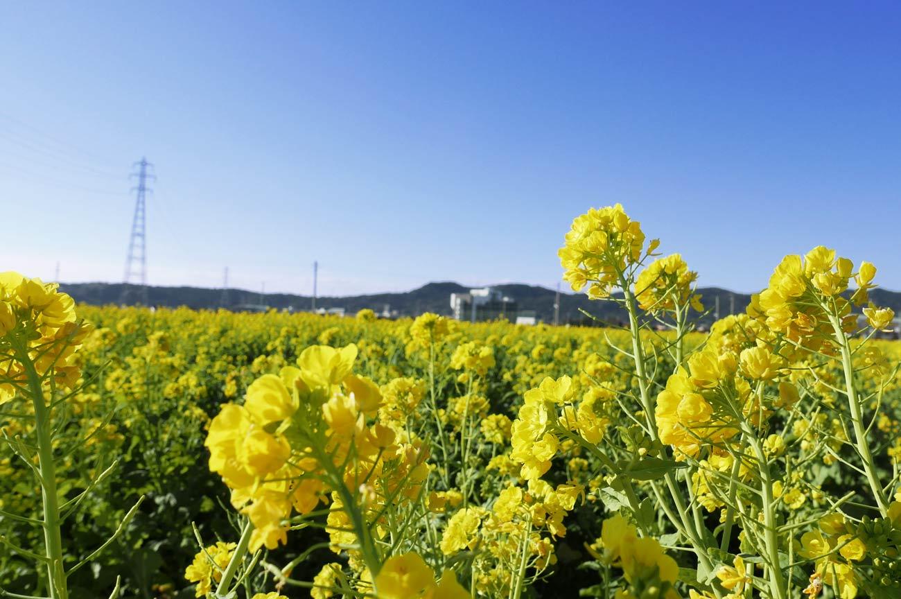 菜の花のアップ画像